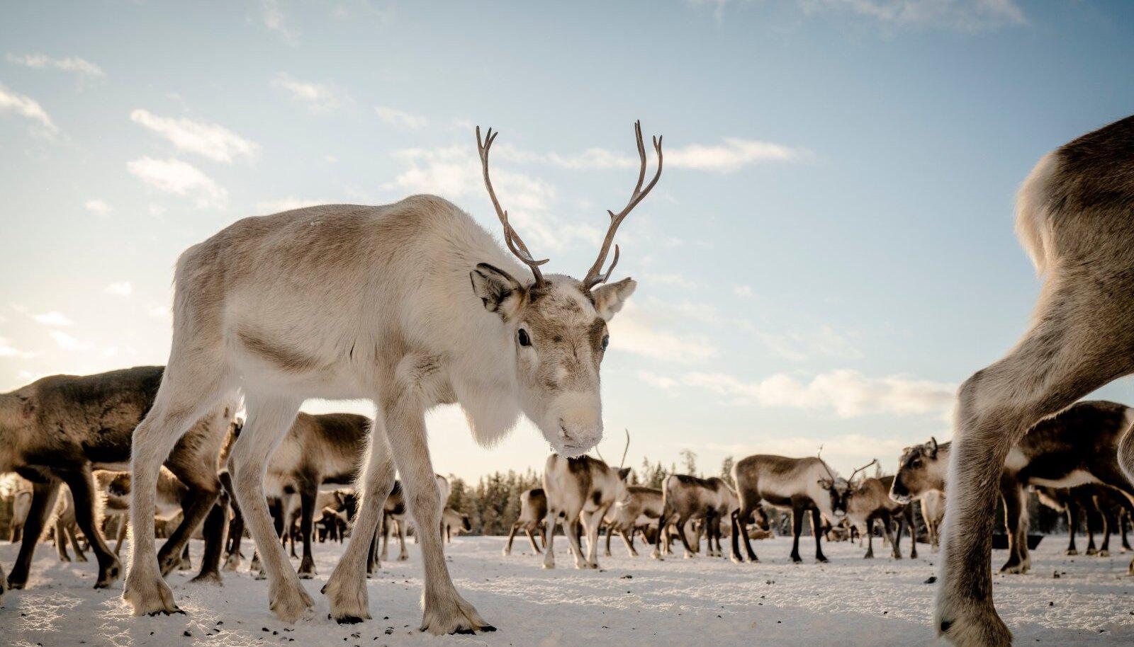 Leebe talv on raskendanud põhjapõtrade kasvatamist.