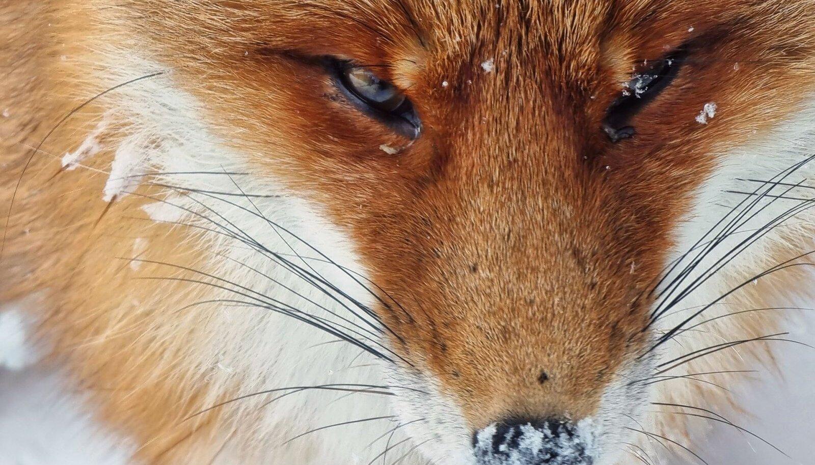 Rebase lähiportree. See foto ei ole lõigatud, vaid looma on pildistatud hästi lähedalt, kasutades telefoni 10x zoomi. Pildistatud Tartumaal.