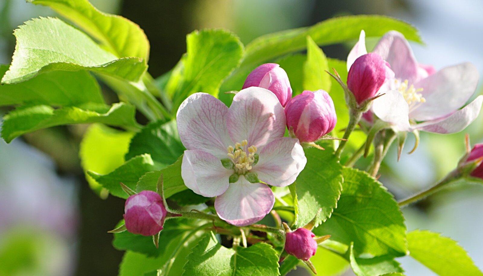 Õunapuu-õielõikaja kahjustab veel avanemata õisi.