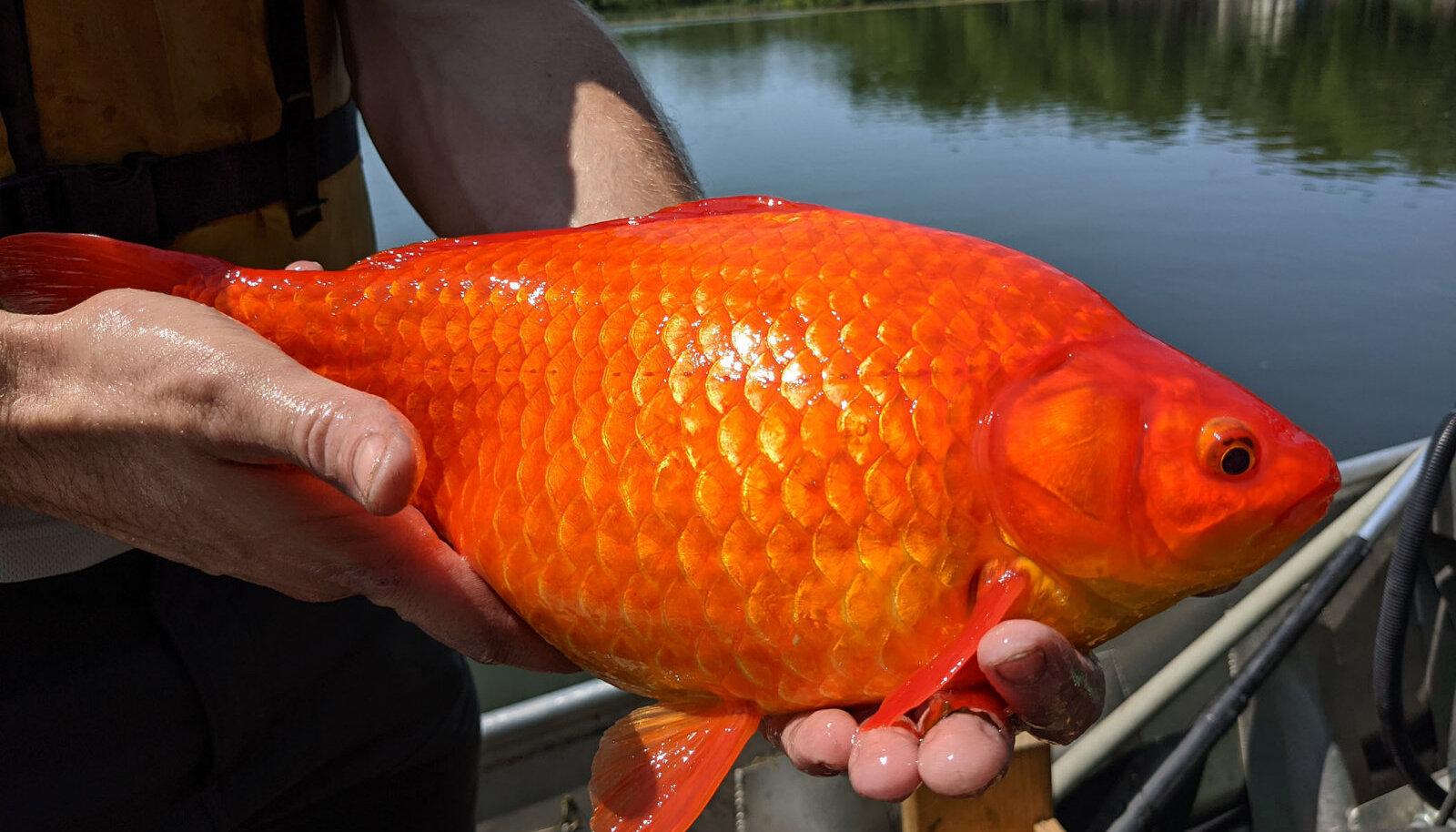Burnsville'i veekogust kätte saadud kuldkala.