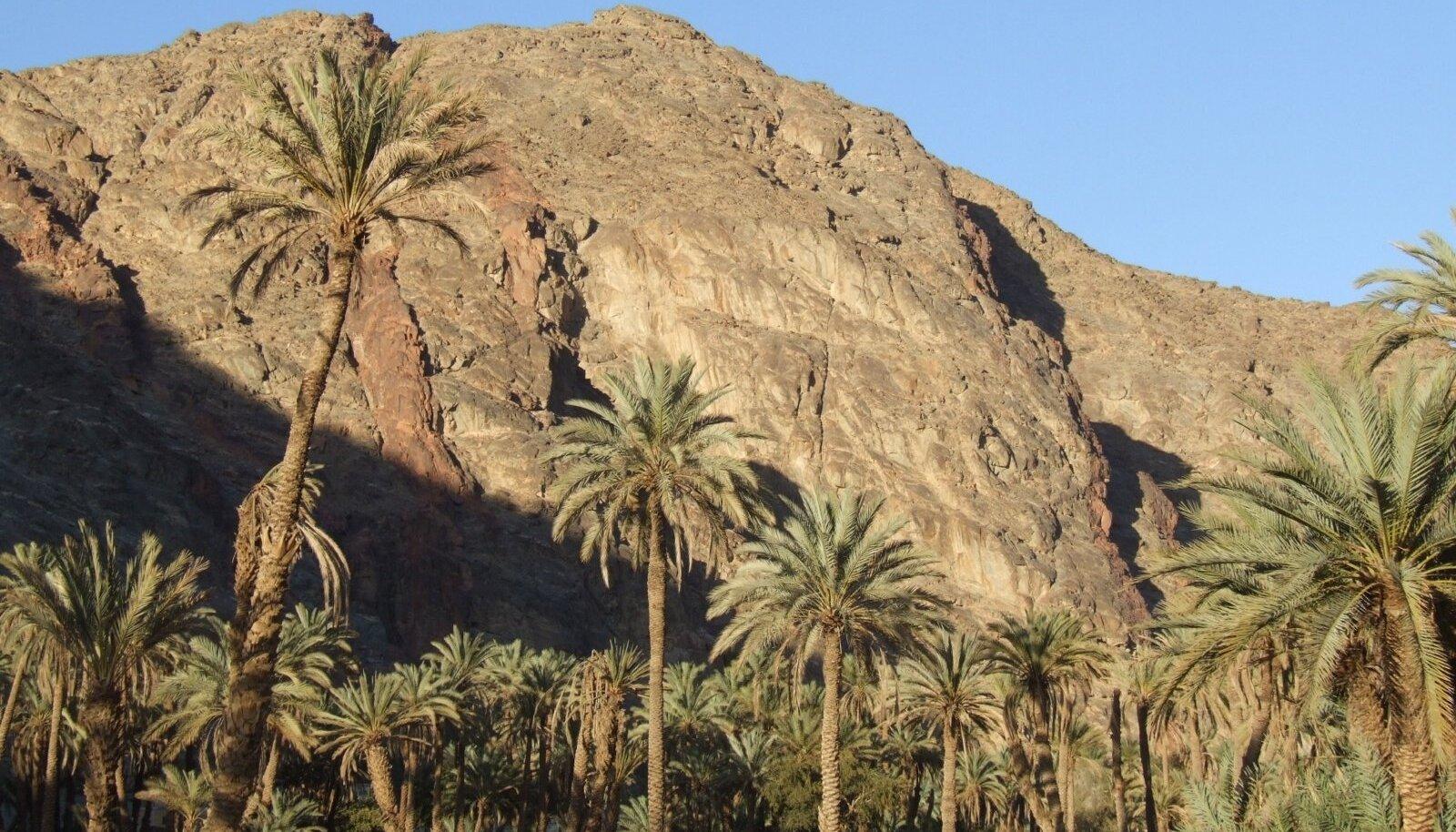 OAAS: Feirani wadis arvatakse kasvavat kokku 12 000 datlipalmi.