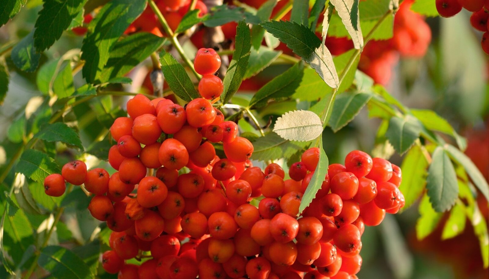 Ilupihlakate viljad on tavaliselt väikesed, kuid kaunites kobarates