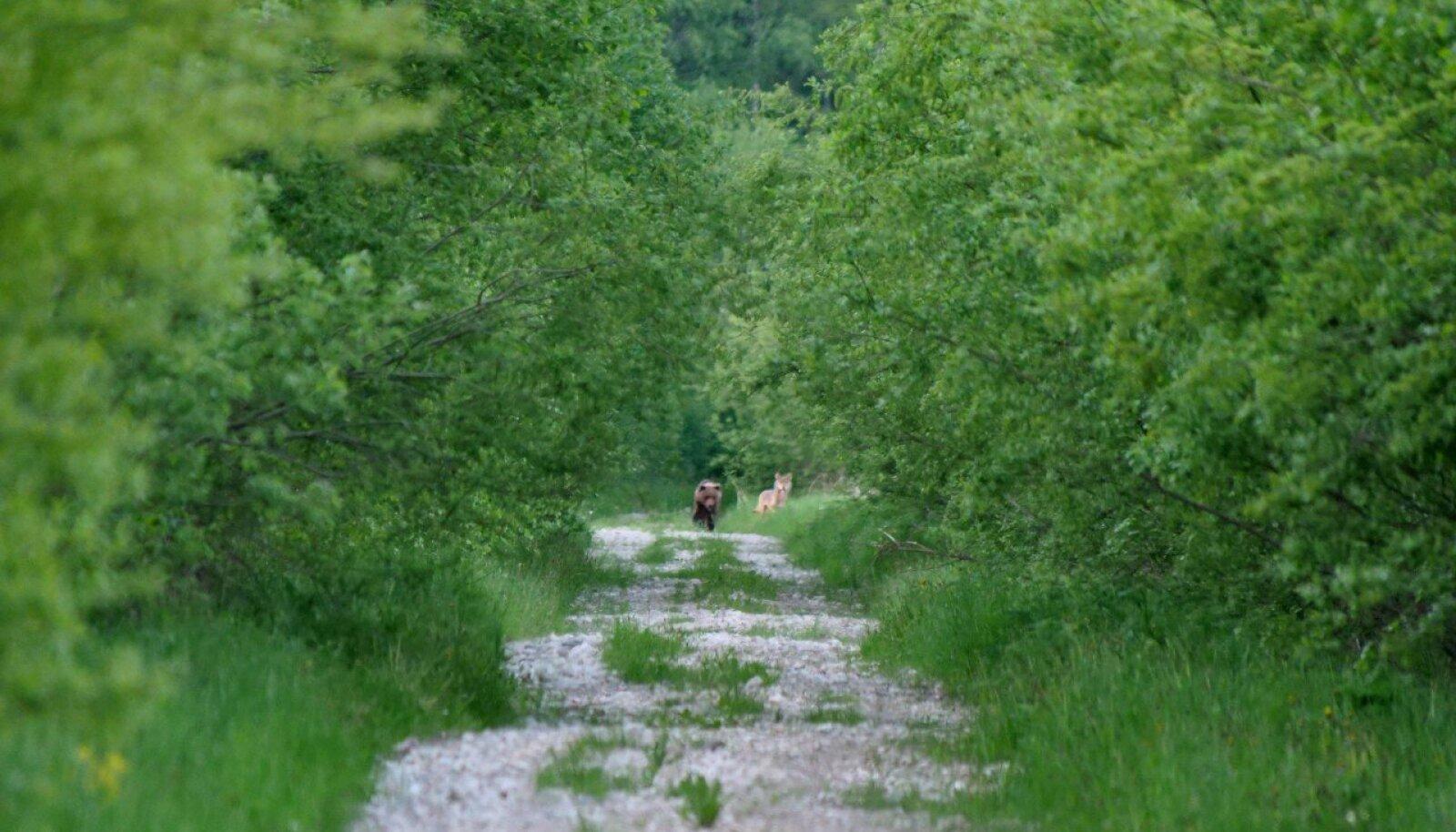 Karu ja hunt Pusu rabas