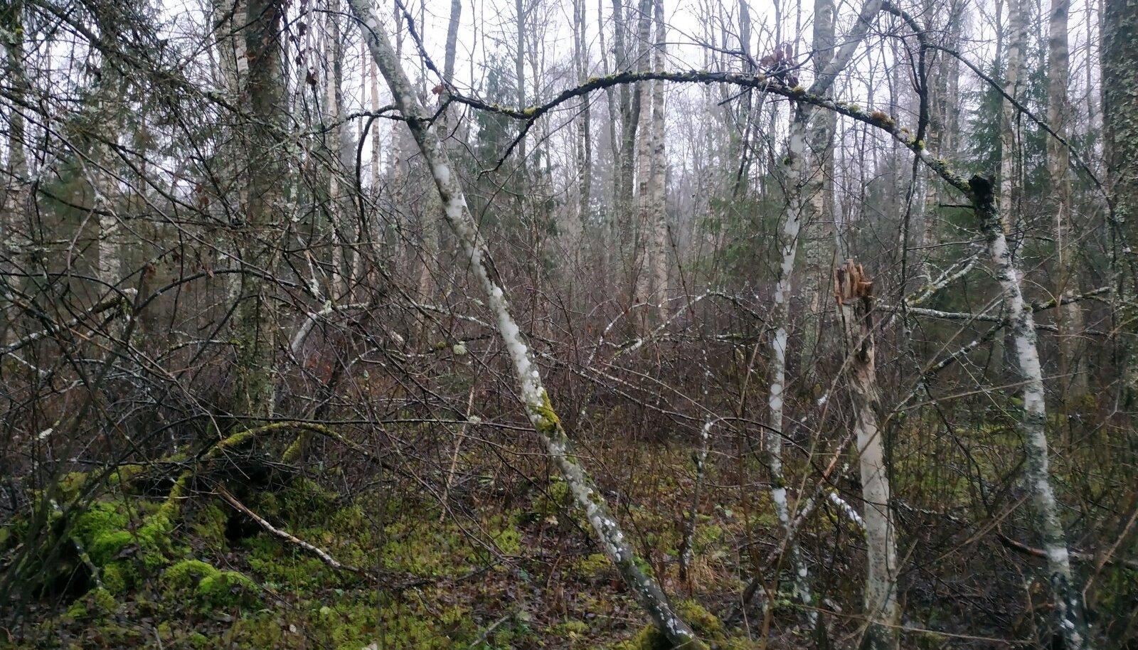 Vaade Teet Randma pere metsast, mida majandatakse vaid oma tarbeks.