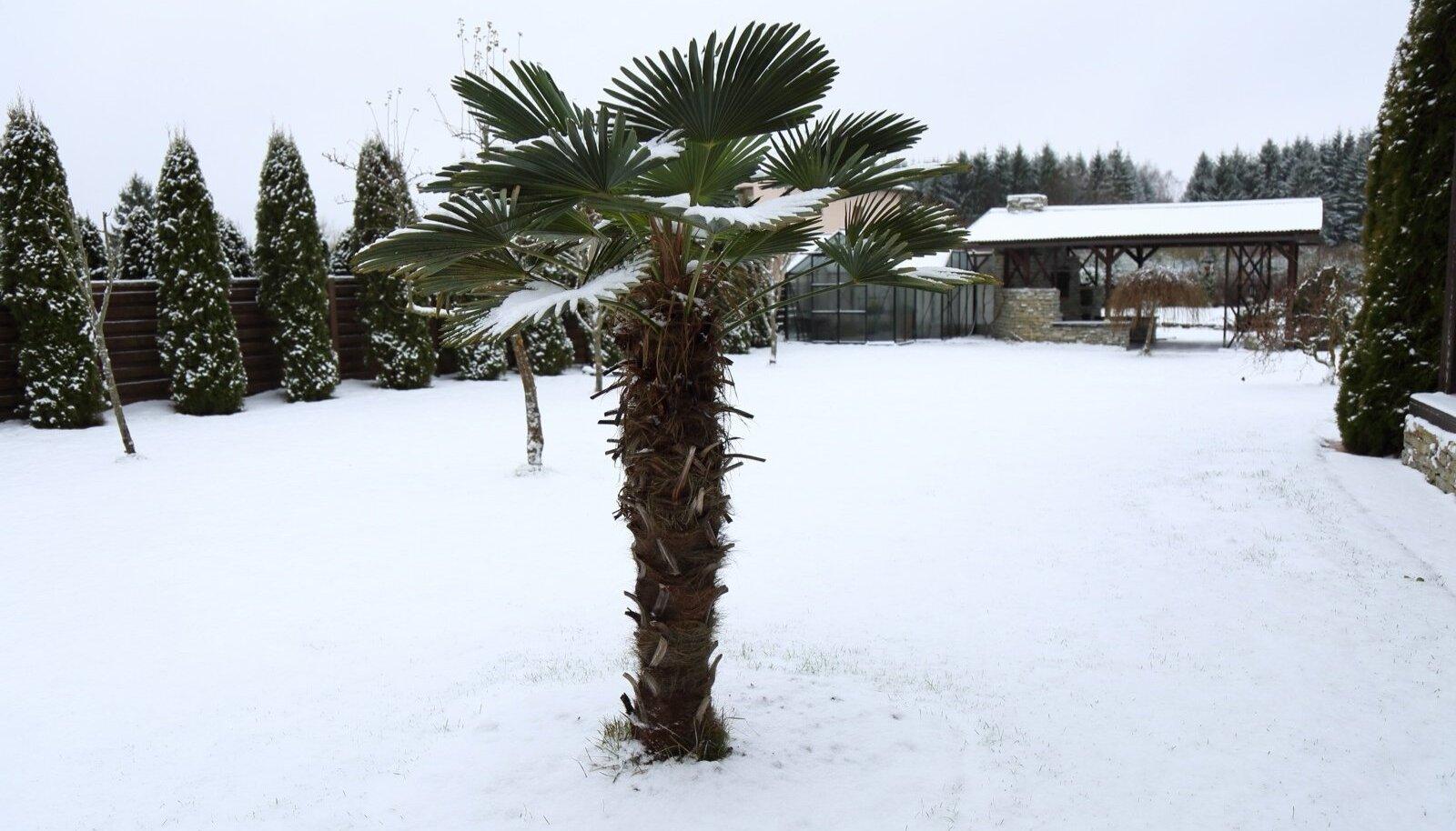 Wagneri karuspalm ehk harilik karuspalm kasvab Rannamõisa lähistel juba seitsmendat aastat. Viimastel aastatel pole puud enam ka katta tulnud.