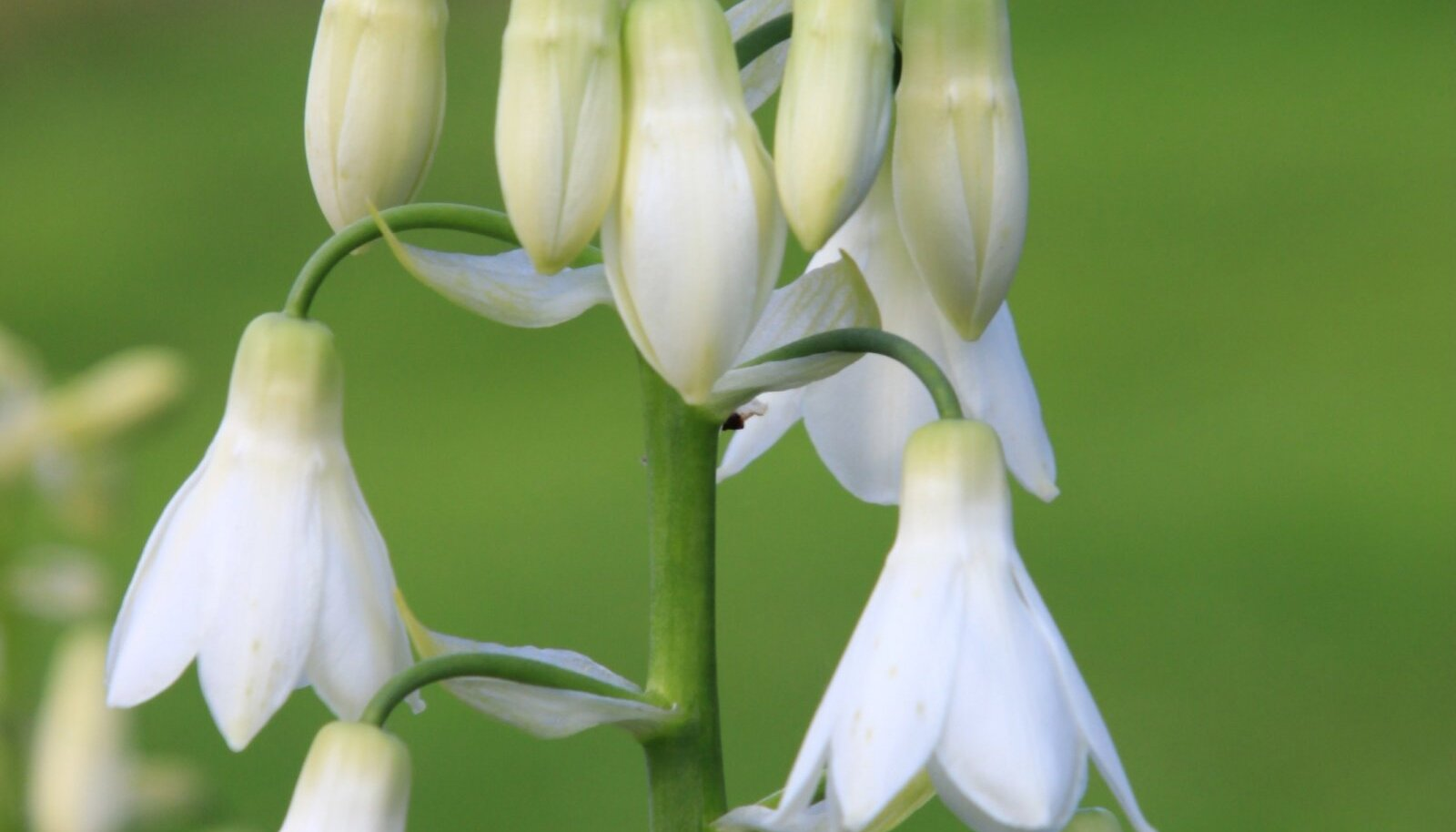 Valkja hiidhüatsindi õied on lumivalged ja ripuvad nagu kellukesed.