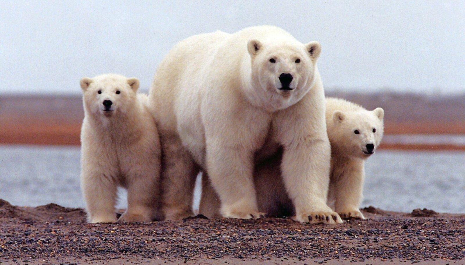 Jääkarud võivad nüüd rahulikumalt hingata.