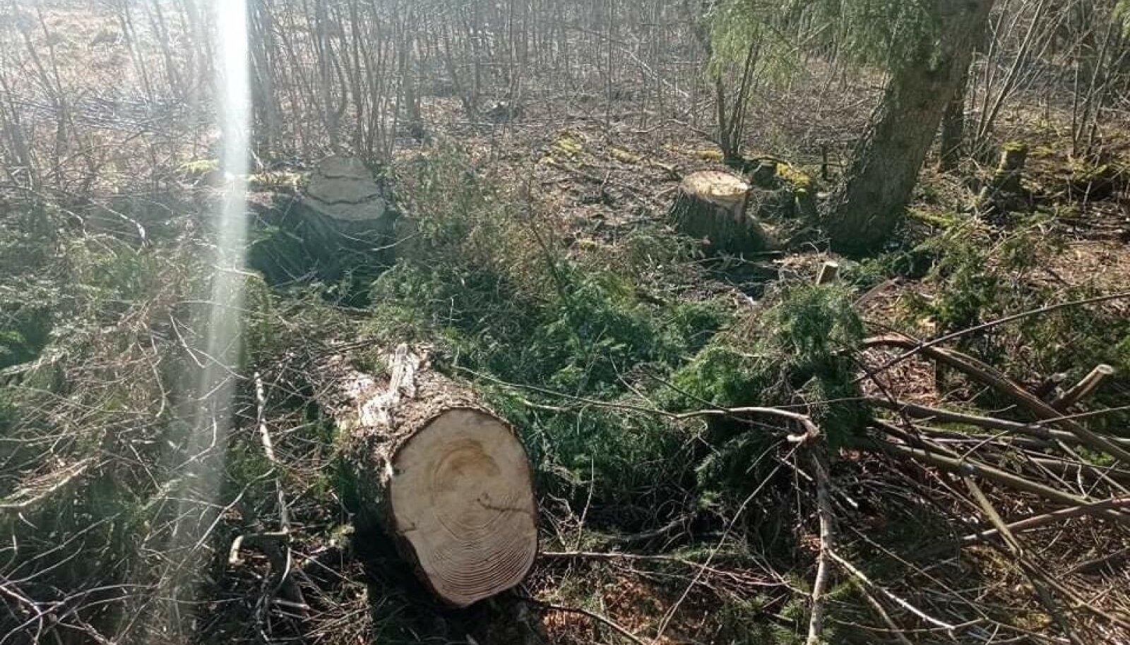 Õue pealt maha saetud kuusepuudest on alles vaid kännud.