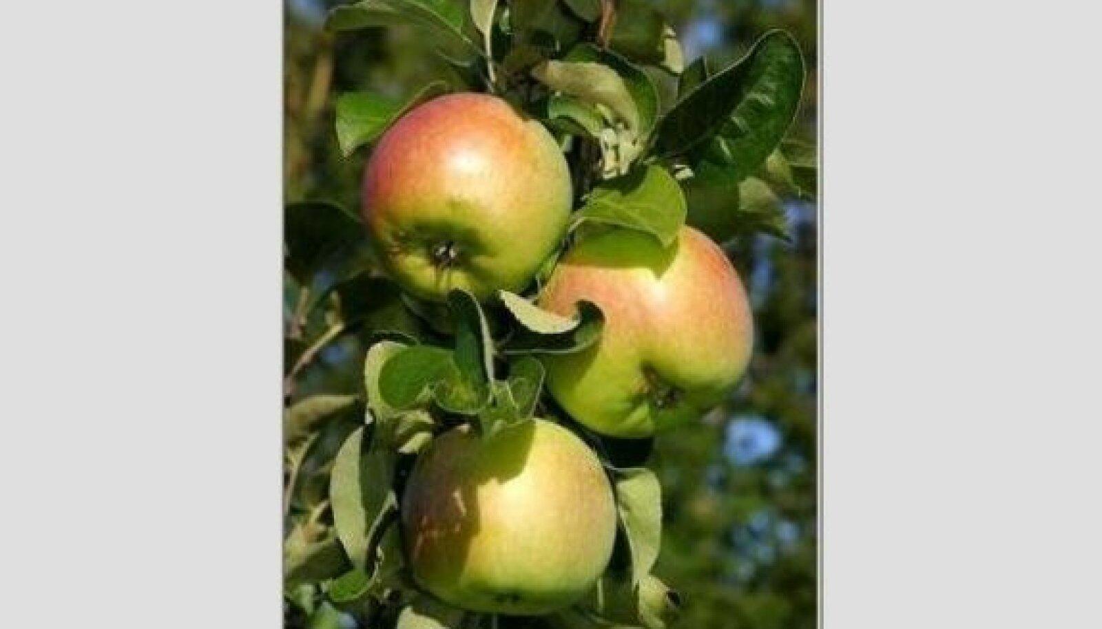 Õun Krista