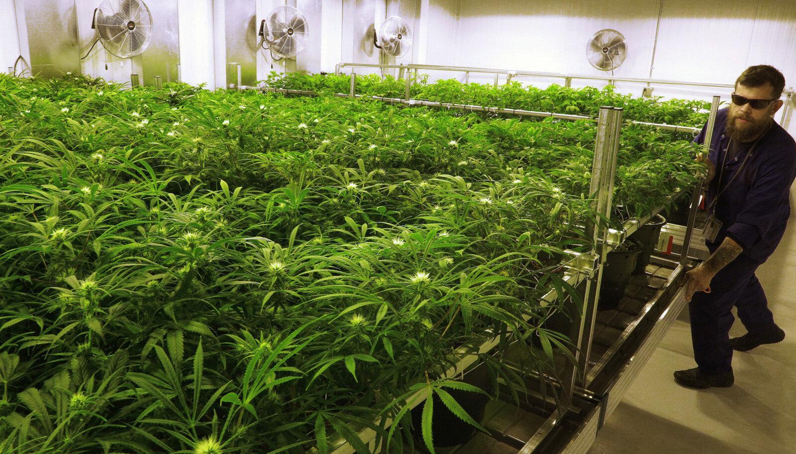Ravikanepi tootmine on Illinois´s lubatud 2014. aastast, pildil legaalse istanduse tööline