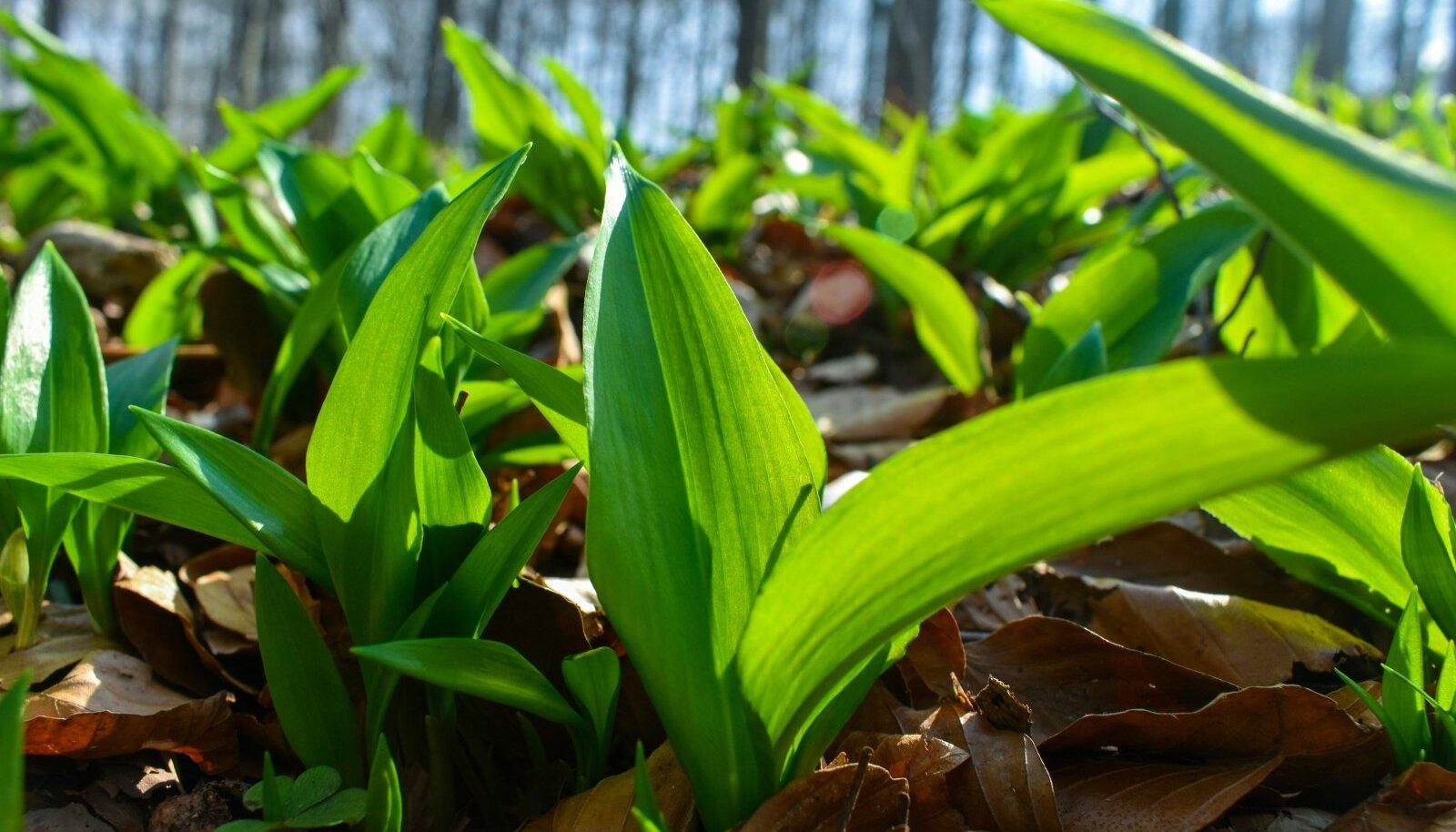 Karulauku korjates jäta igale taimele alles üks leht, nii kindlustad, et ka järgmisel aastal saad samast kohast saaki.