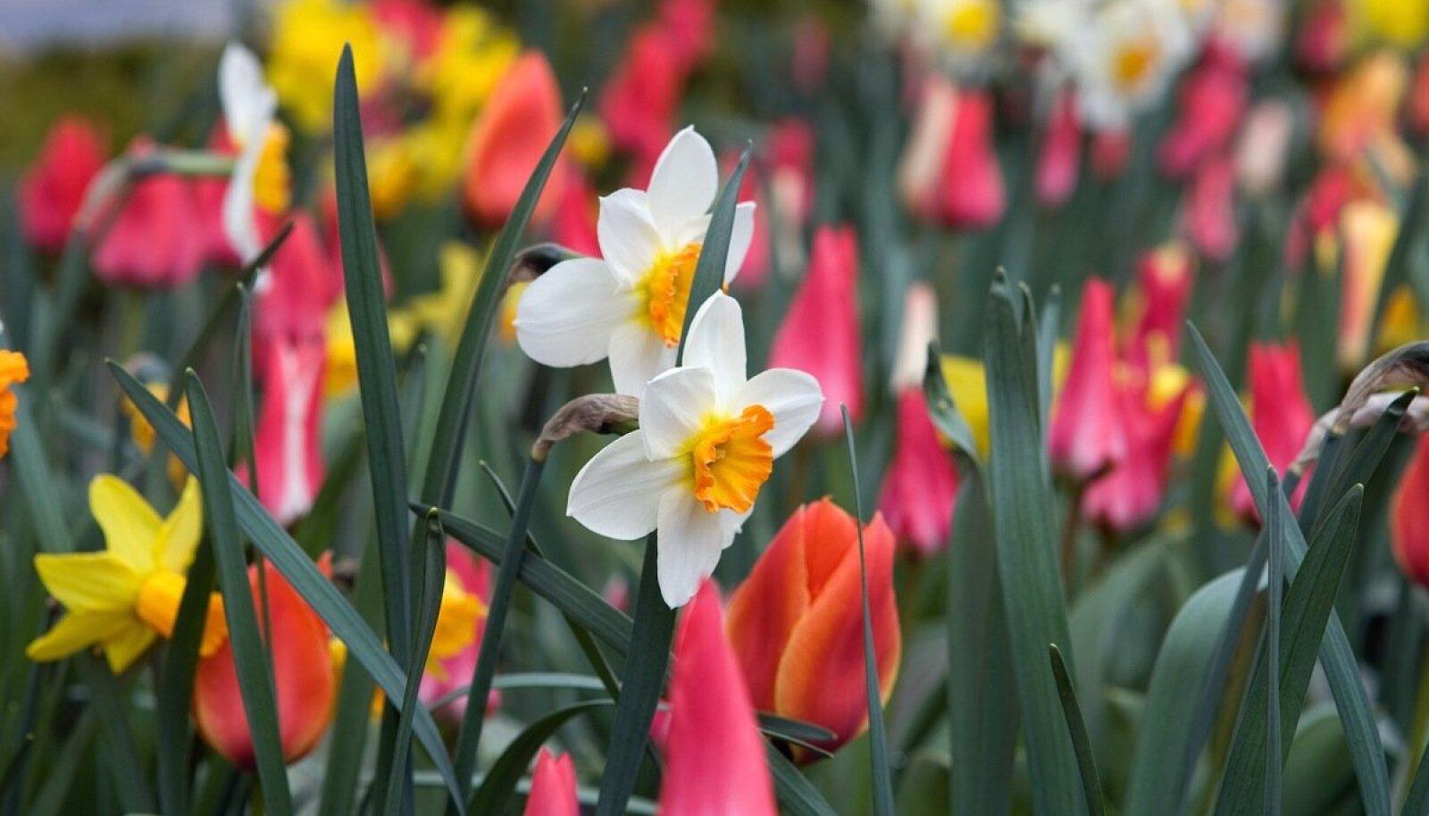 Poodides on sadu erinevaid lillesibulaid, nii suuri kui väikesi, vanu tuttavaid ja täiesti uute sortide ning liikide omi.