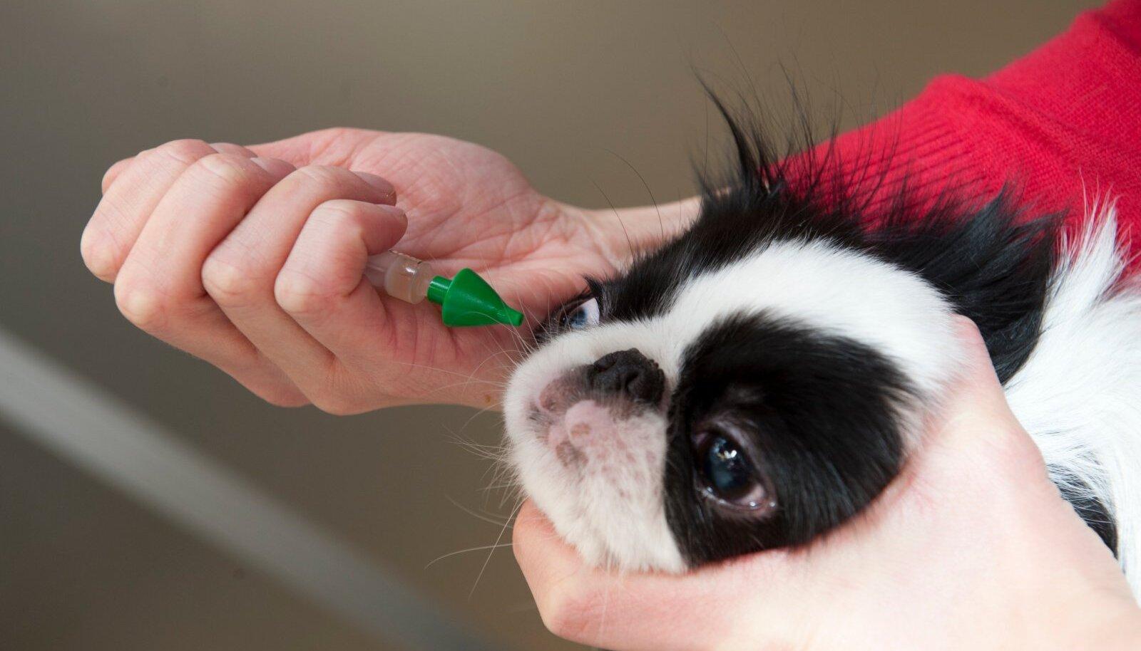 Koera vaktsineerimine nina kaudu