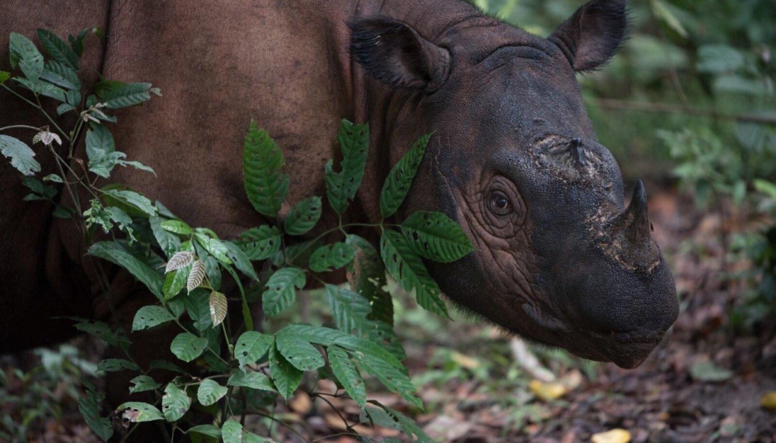 Sumatra ninasarvik