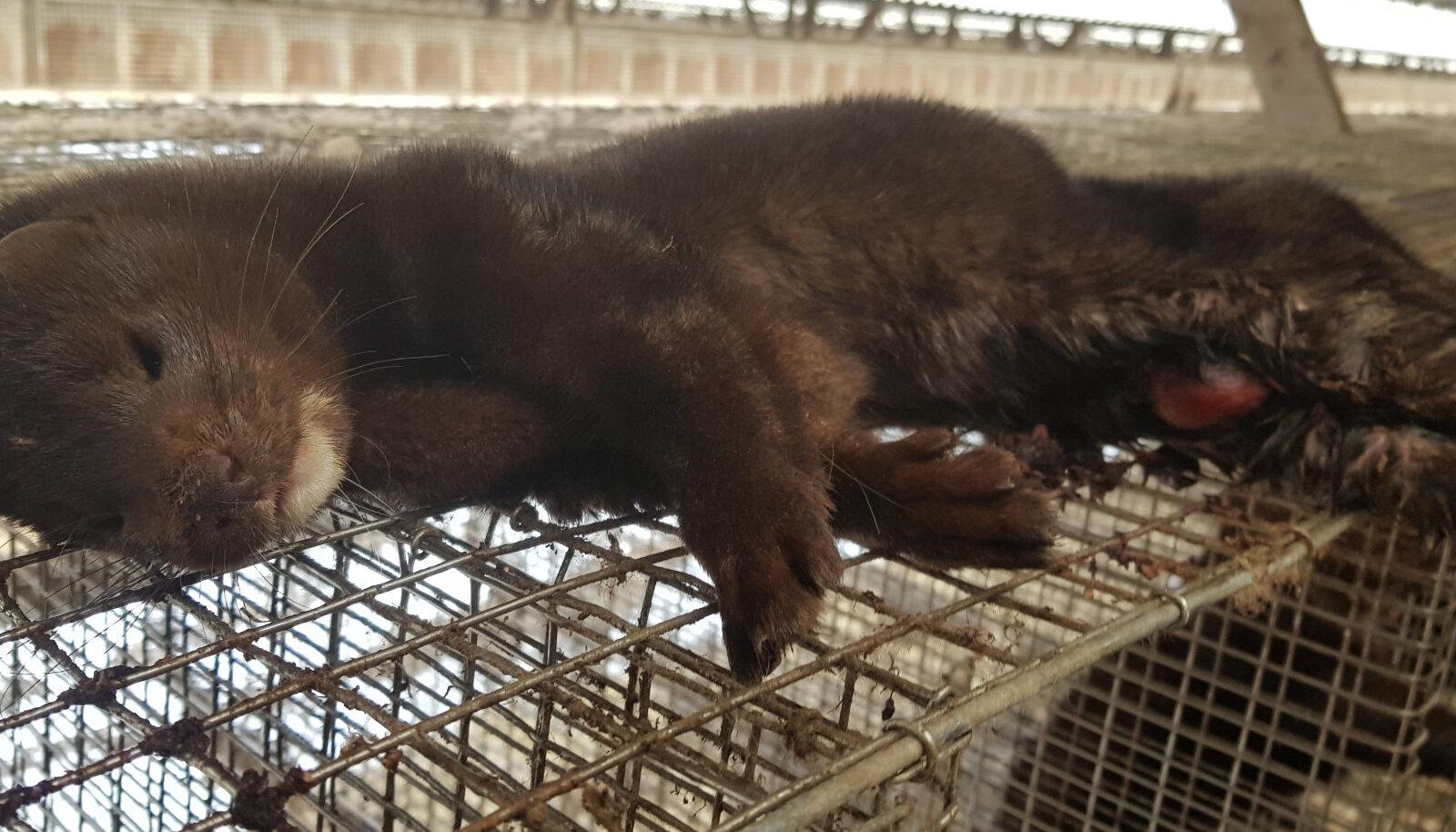 Mink Läti karusloomafarmis