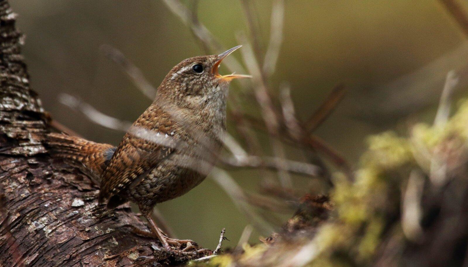 Käbliku laulu hakkab peagi metsast kostuma.