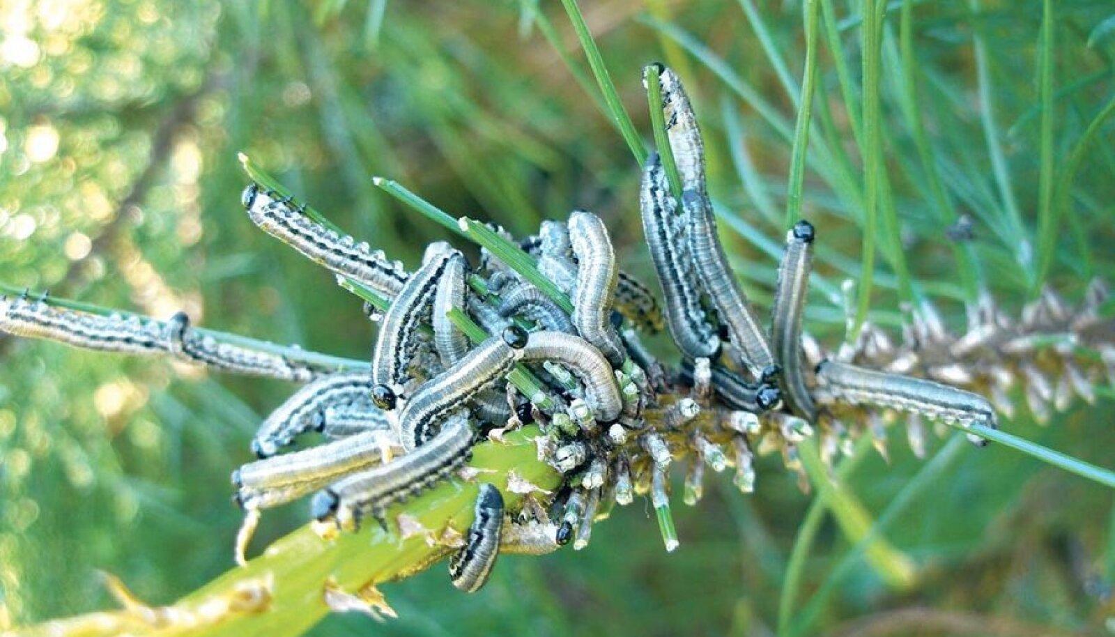Punaka männivaablase ebaröövikud söövad ära vanemad okkad ja uusi enamasti ei puutu.