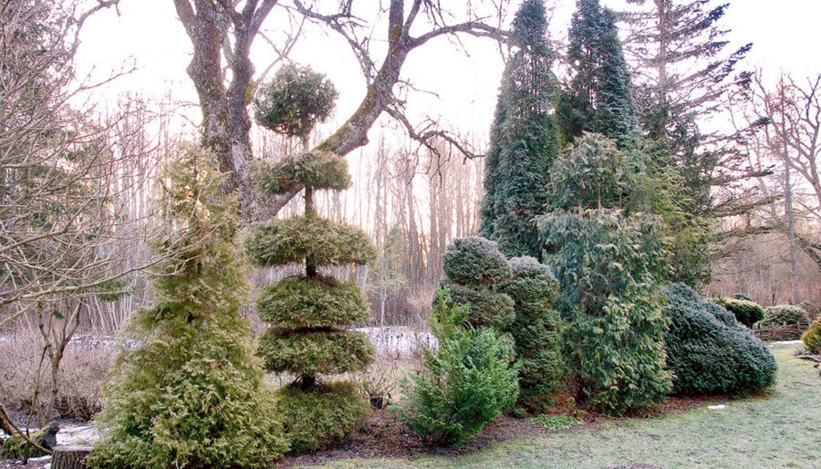 Raagus poolaasta kuulub okaspuudele, et oma värve ja vorme demonstreerida.