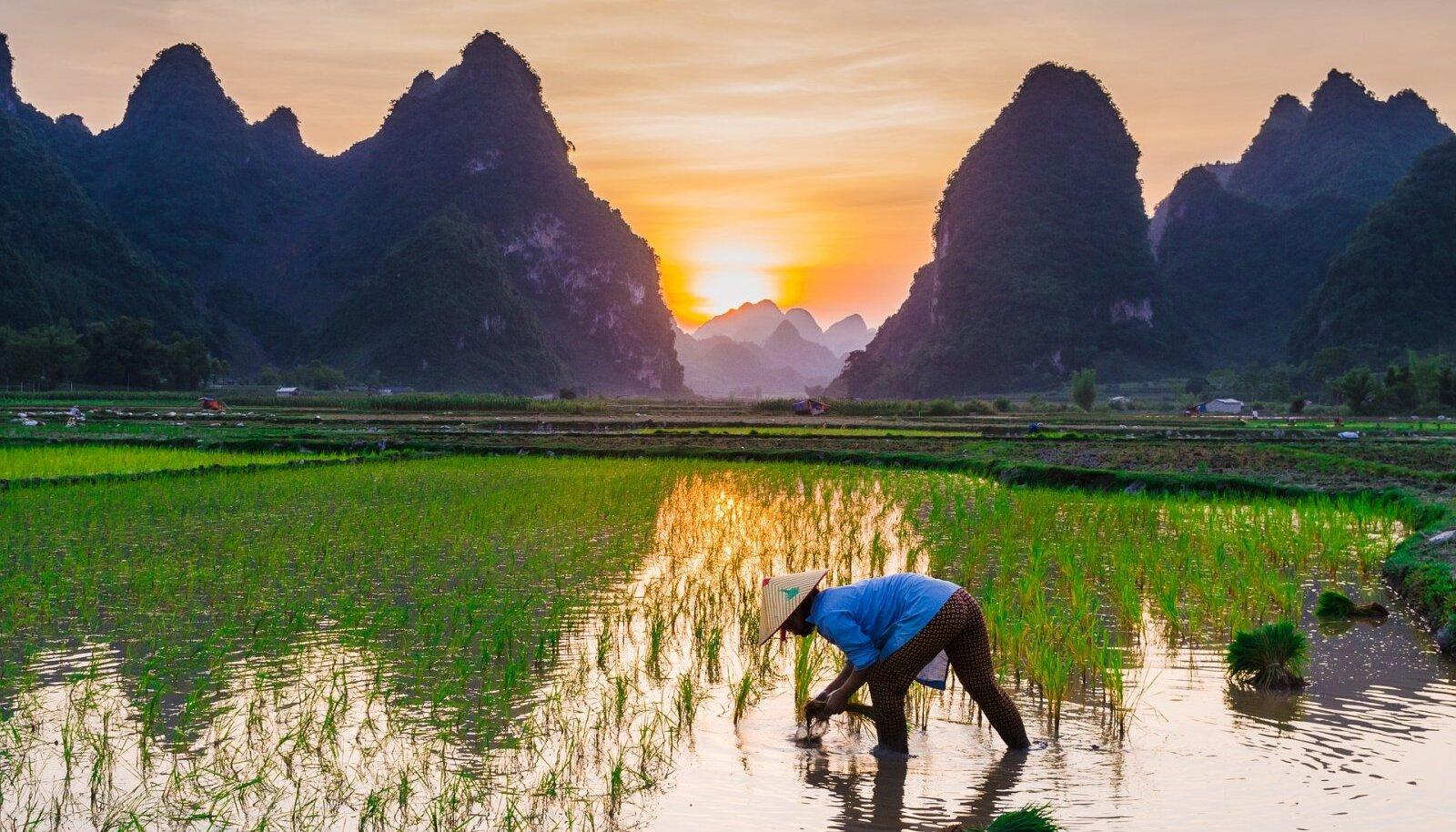 Riisikasvatus (Foto: Pixabay / Tuan Hoang)