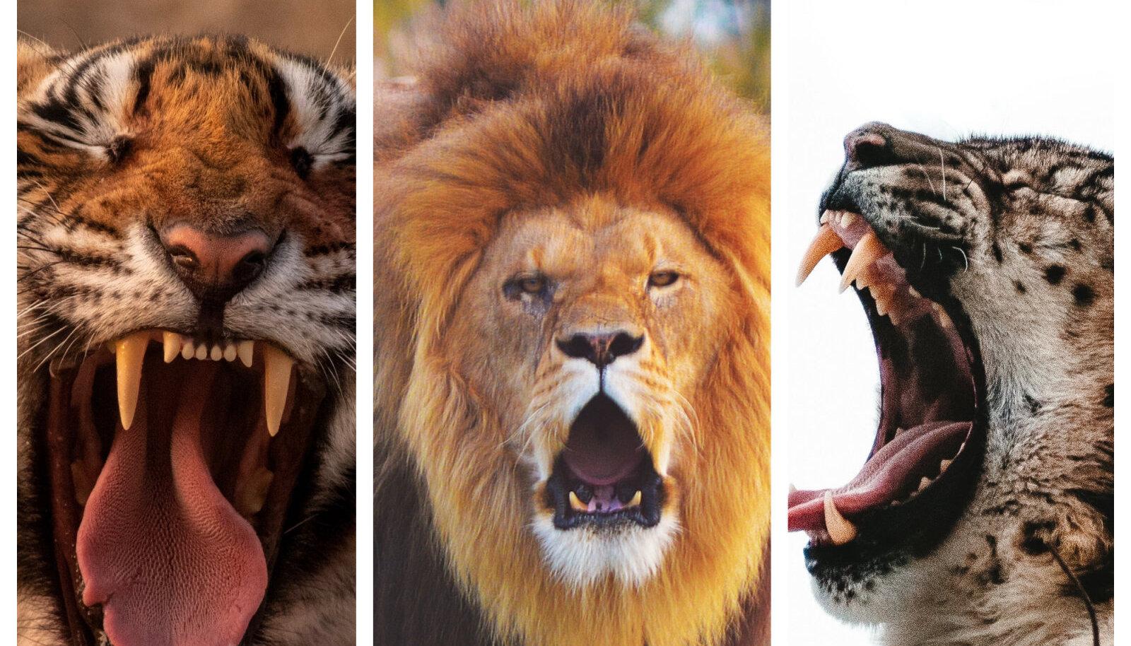 Lõvid on sotsiaalsed kaslased, kes elavad rühmades, mida nimetatakse praidideks.