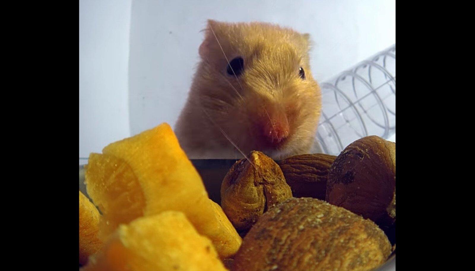 Kuldne hamster