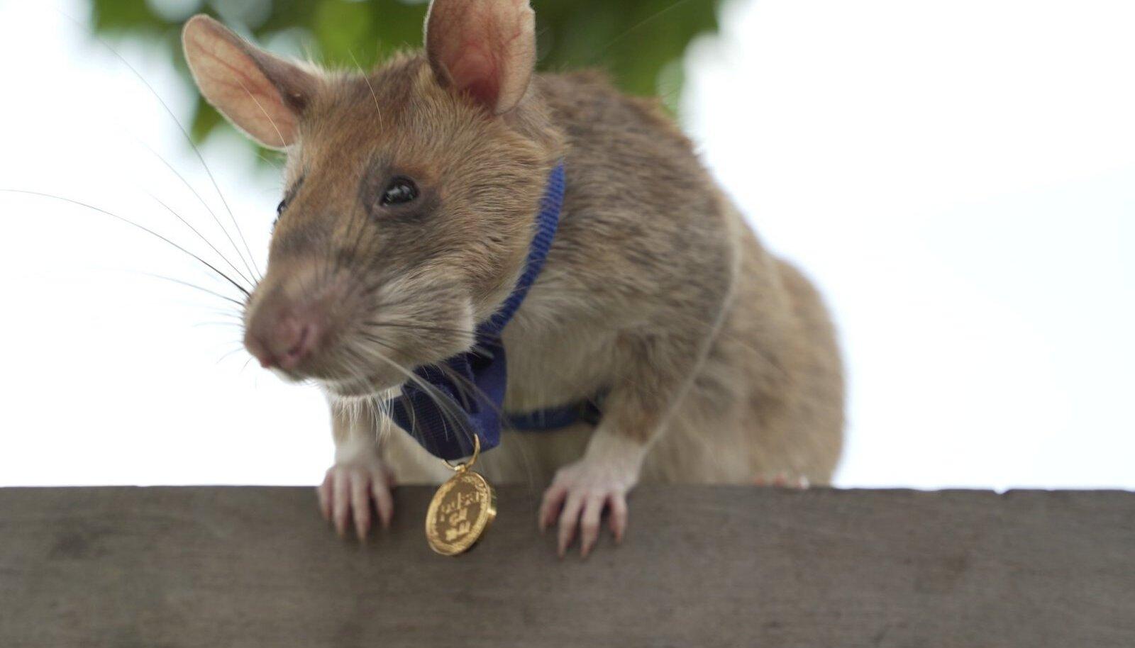 Magawa, jalaväemiine jahtiv rott