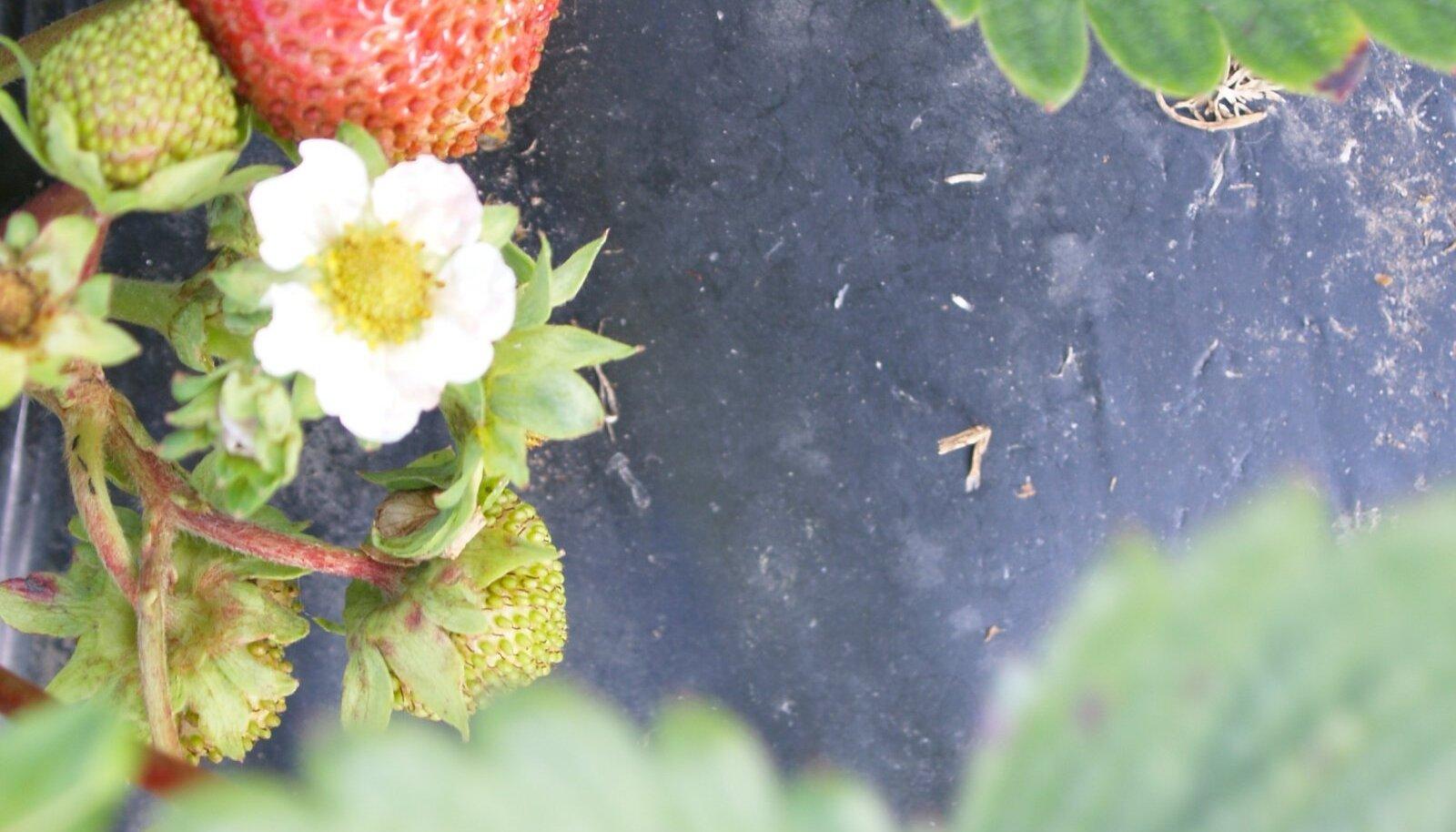 Rohulutika tegevuse tagajärjel on vilja tippu moodustunud seemniste kogum.