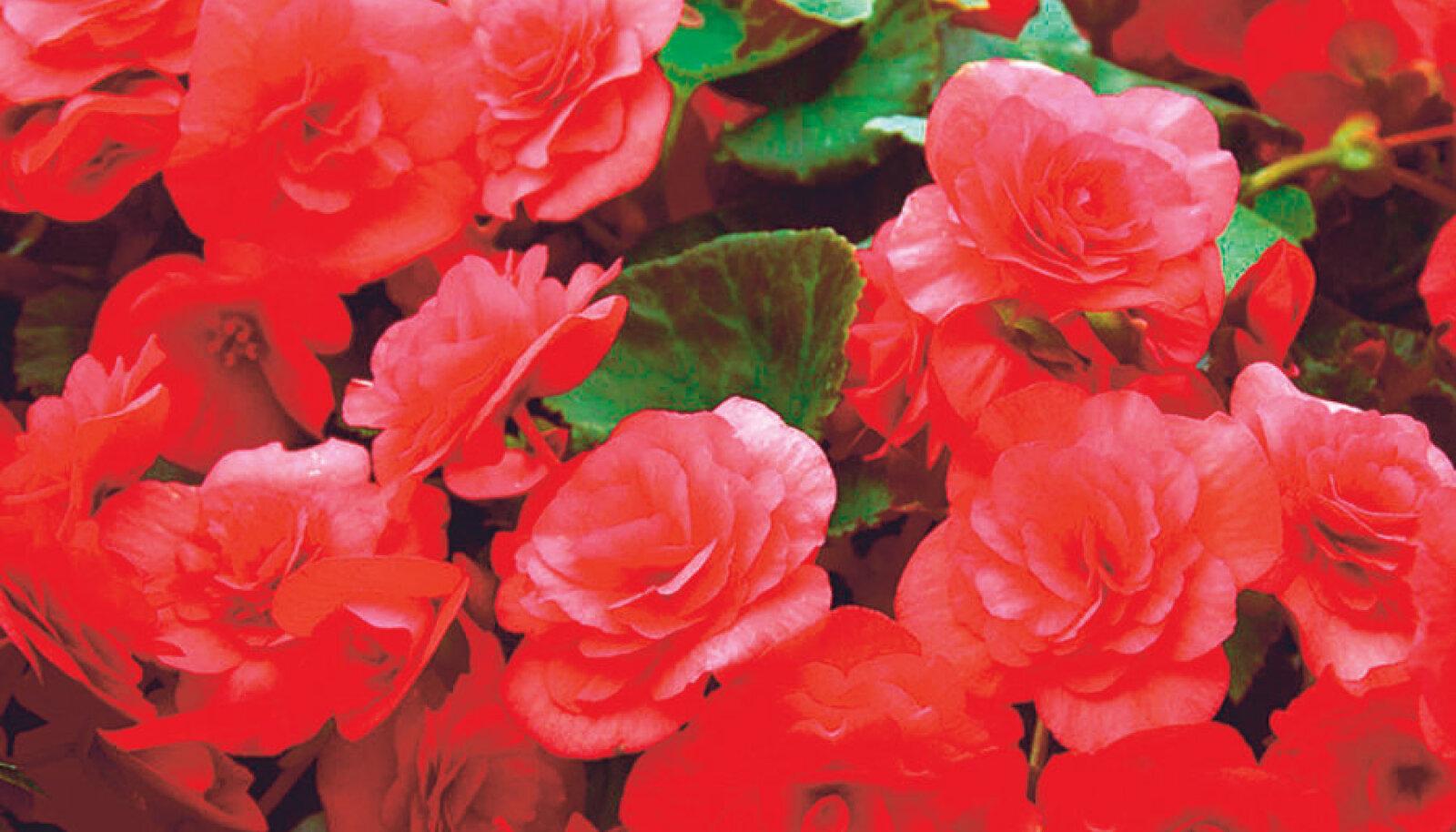 Begonia Solenia 'Dark Pink'.