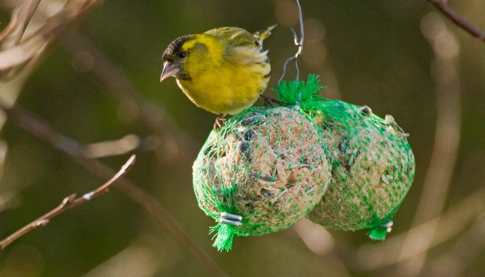 linnud aias, pesakast, Peep Veedla, tihane, rasvapallid, tutttihane