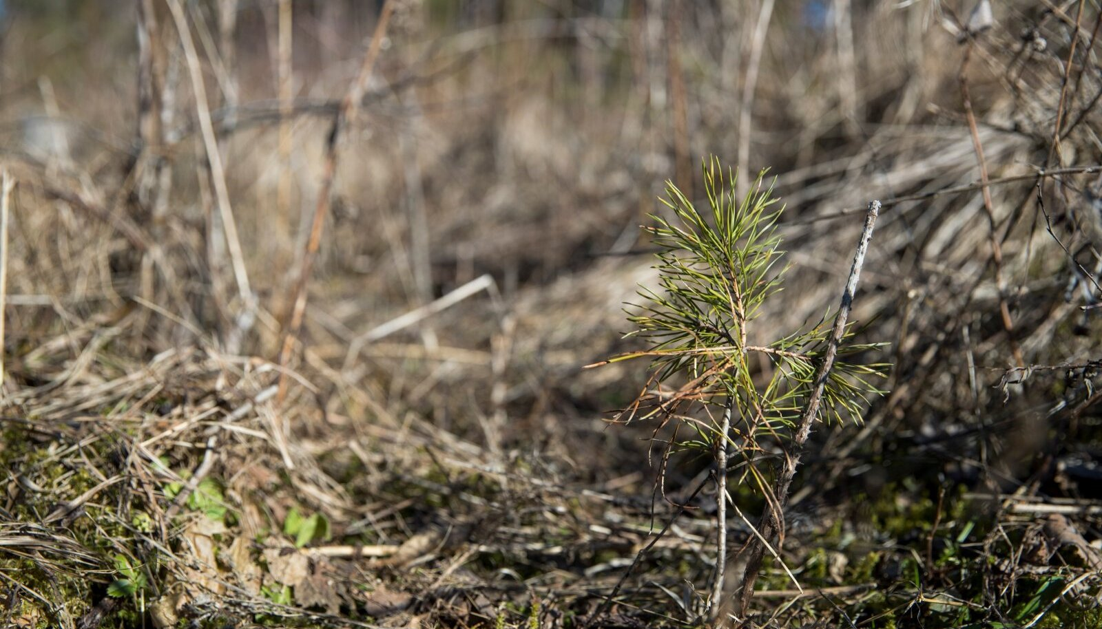 Männitaim metsakultuuris