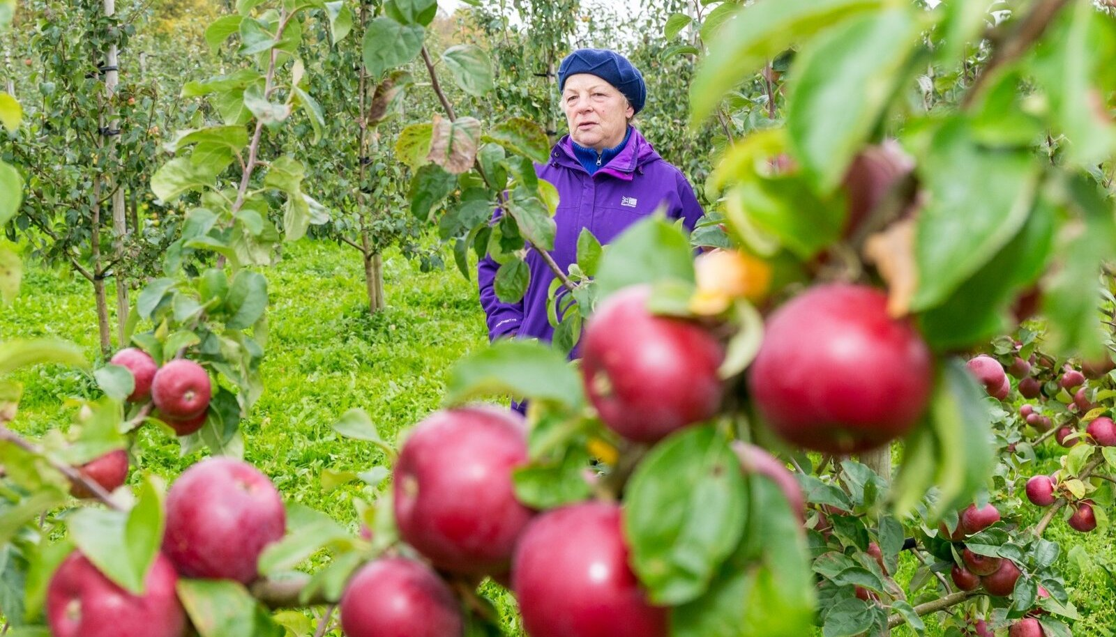 """""""See ei vasta tõele, et Eestis ei saa kasvatada ilusat punast õuna,"""" ütleb TÜ Vasula Aed juhataja Imbi Rohejärv 'Alesja' sorti puu juures."""