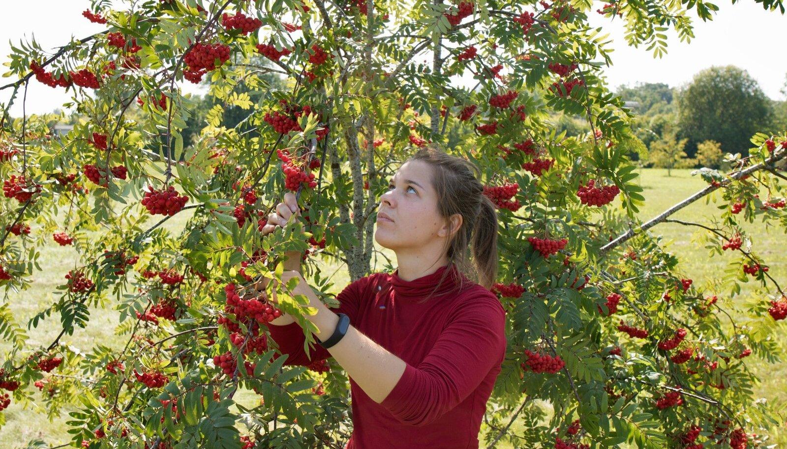 Mailis Vinogradov selgitab, et kuigi kultuurpihlakate sordid on küllalt madala kasvuga, on neilt ka koduaias keerukas vilju korjata.