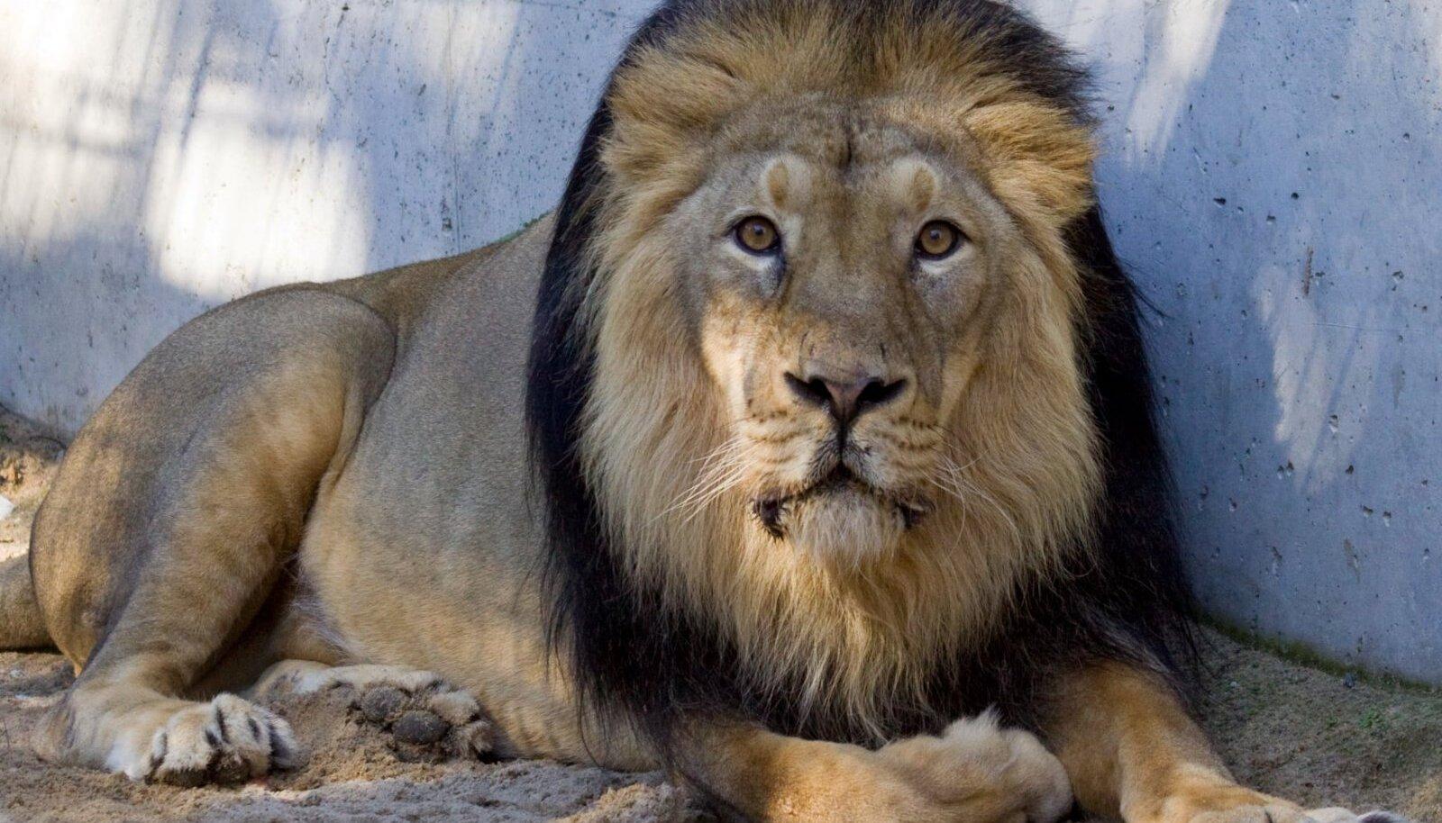 Eutaneeritud lõvi Juna