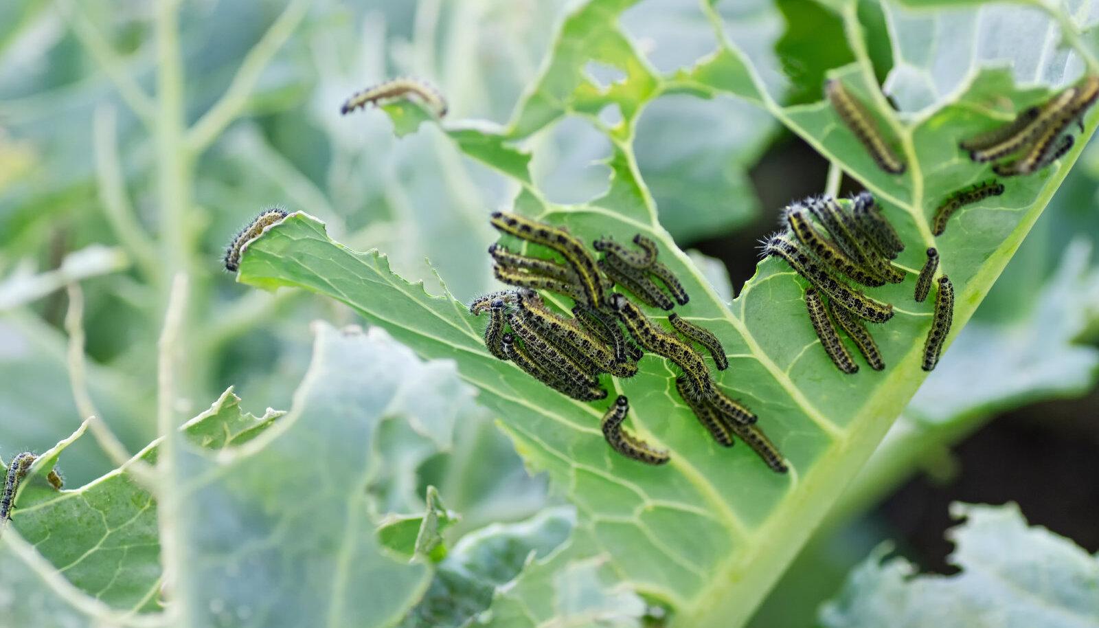 Suure kapsaliblika röövikud panevad taime sisuliselt ühe päevaga nahka.