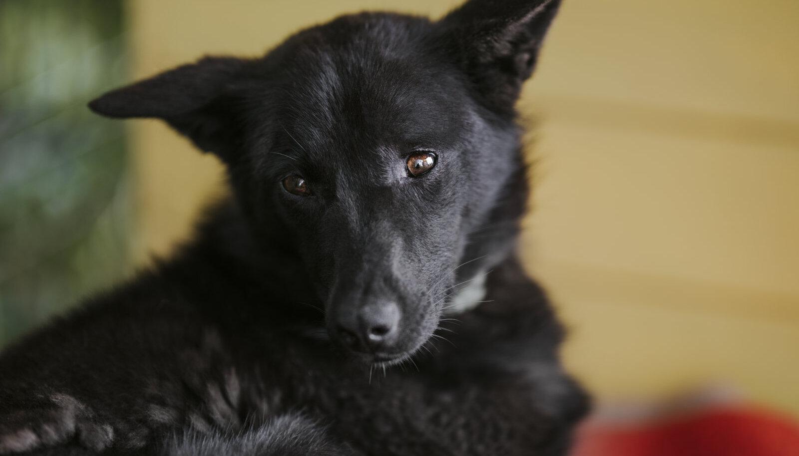 Kodu ootav koer Ruby