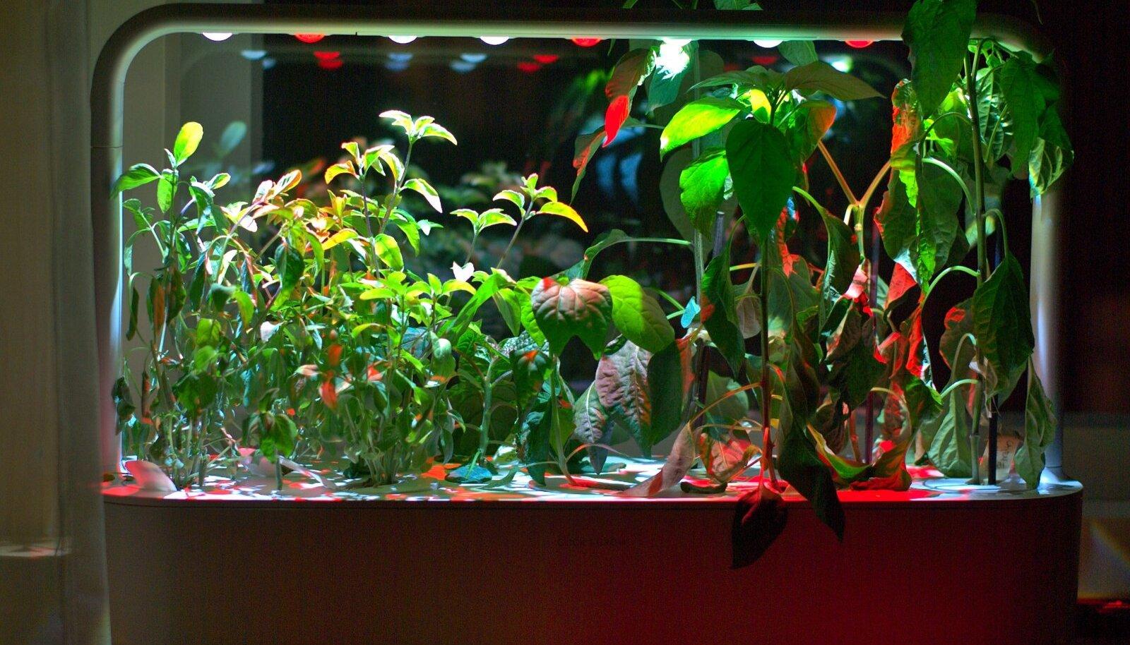 Pärast kaht nädalat üksi olemist on taimedel vesi otsa saanud ja nad on kasvanud üle valgustuse. Õnneks jõudsin viimasel hetkel nad ümber istutada.