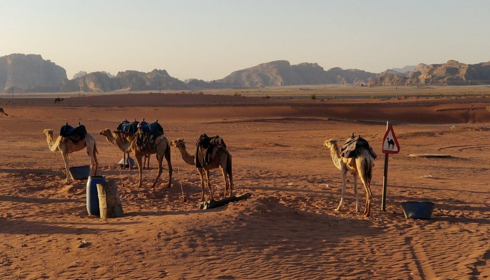 ELU MARSIL: Kui neid kaameleid ees poleks, siis näeks Wadi Rum välja täpselt Marsi moodi. Seepärast Hollywood marsi-stseene just siin filmiams käib.