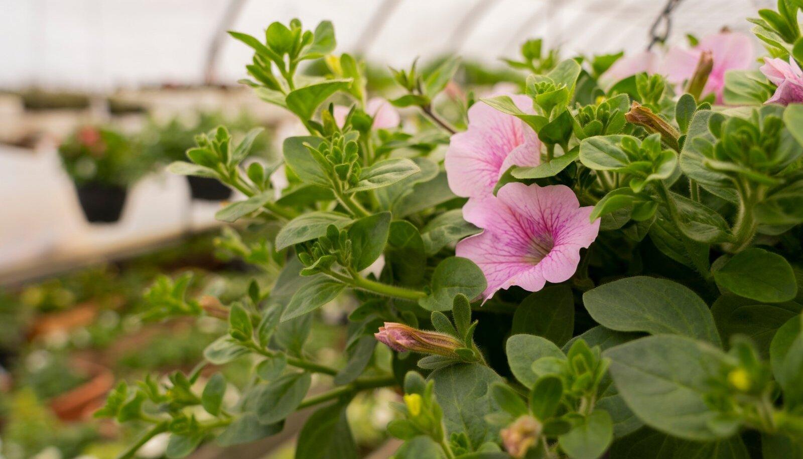 Noarootsi suvelillede kasvataja Lilleparun ehk Elar Piir.