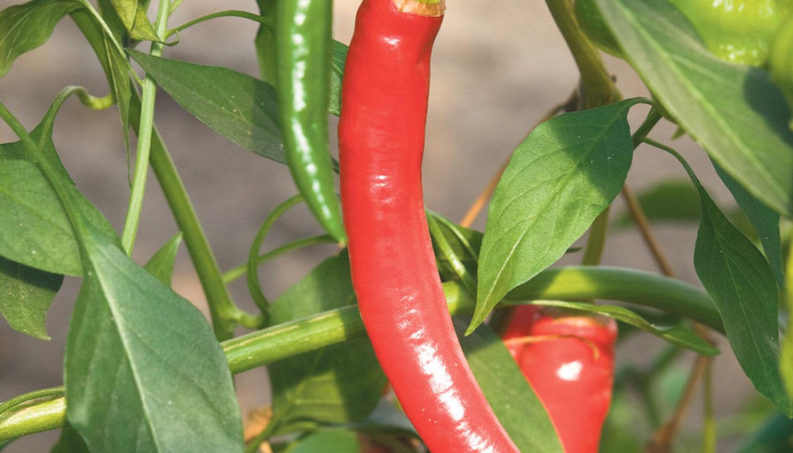 'Long Thin Cayenne' sobib hästi pipranapsi tegemiseks ja tema vilju saab edukalt kuivatada.