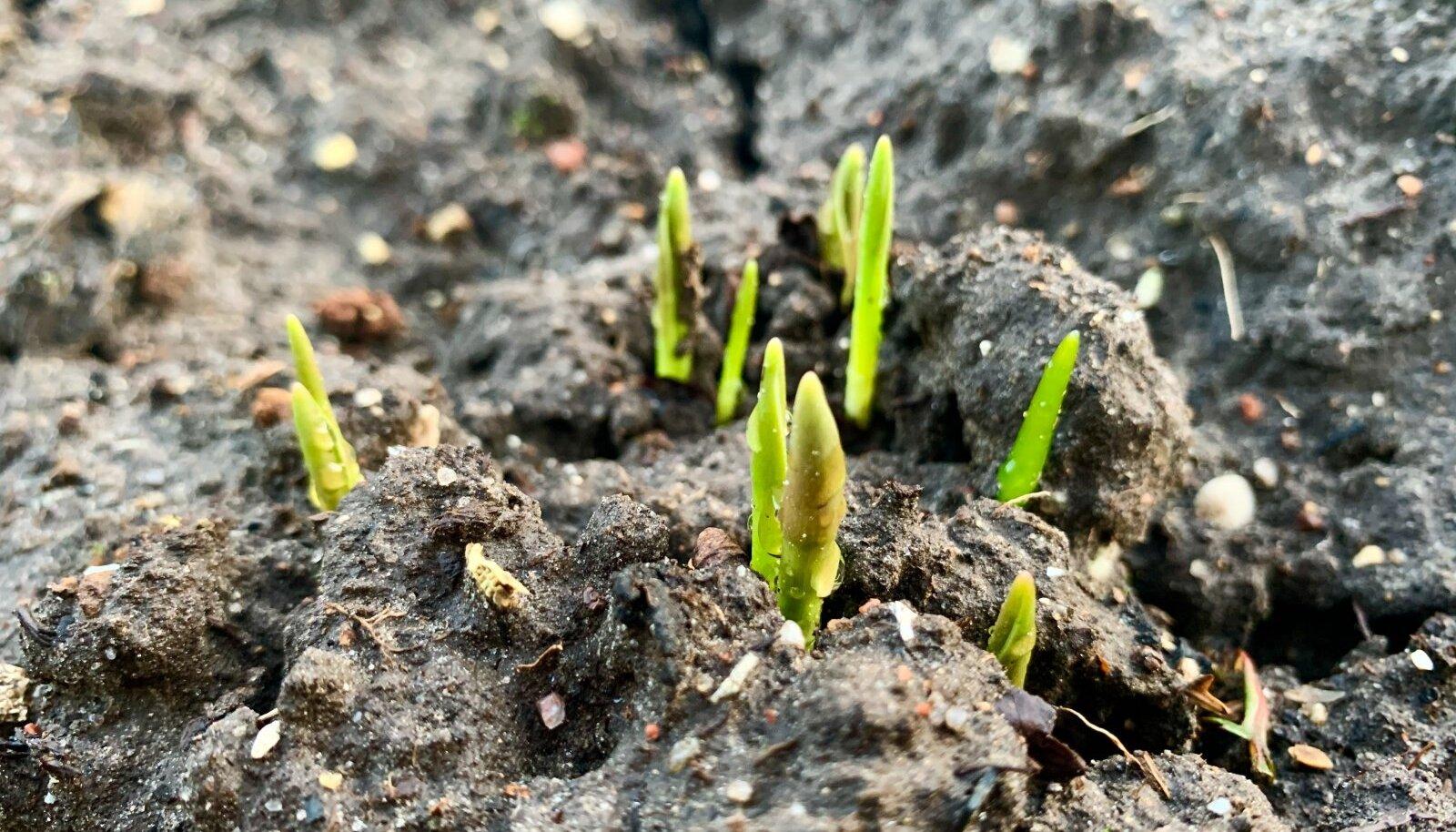 Jaanarikuu näitas kevade märke