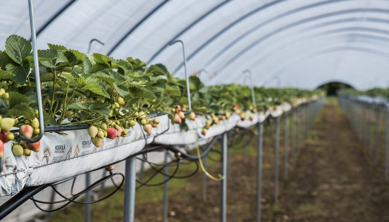 Aran Farmingu maasikad küpsevad kiletunnelis.