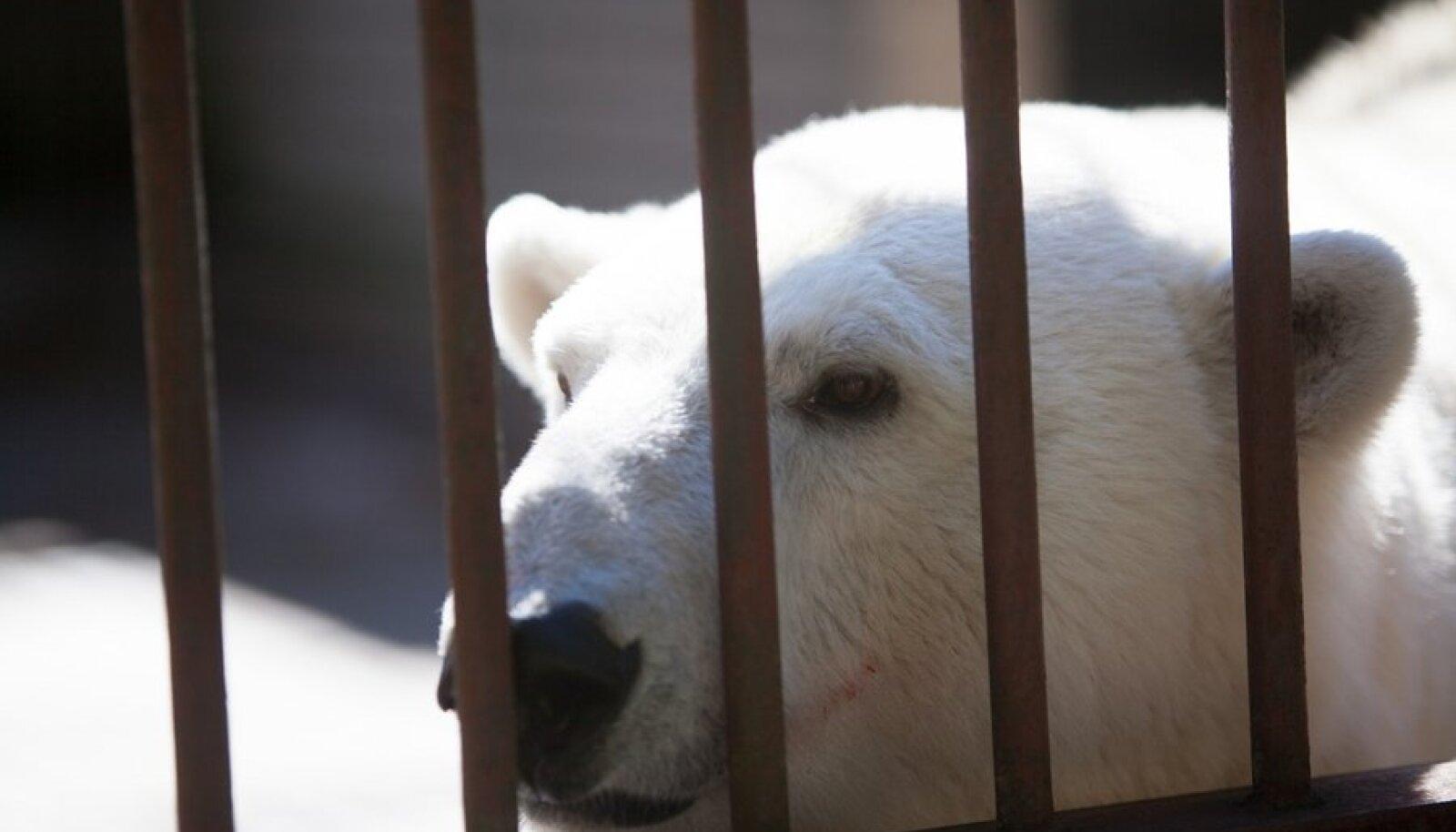 Jääkaru Friidal sündis novembri lõpus poeg
