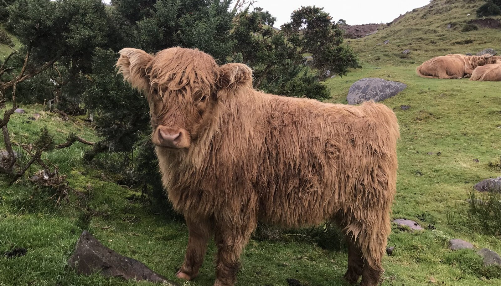 Šoti mägiveis Applecrossis