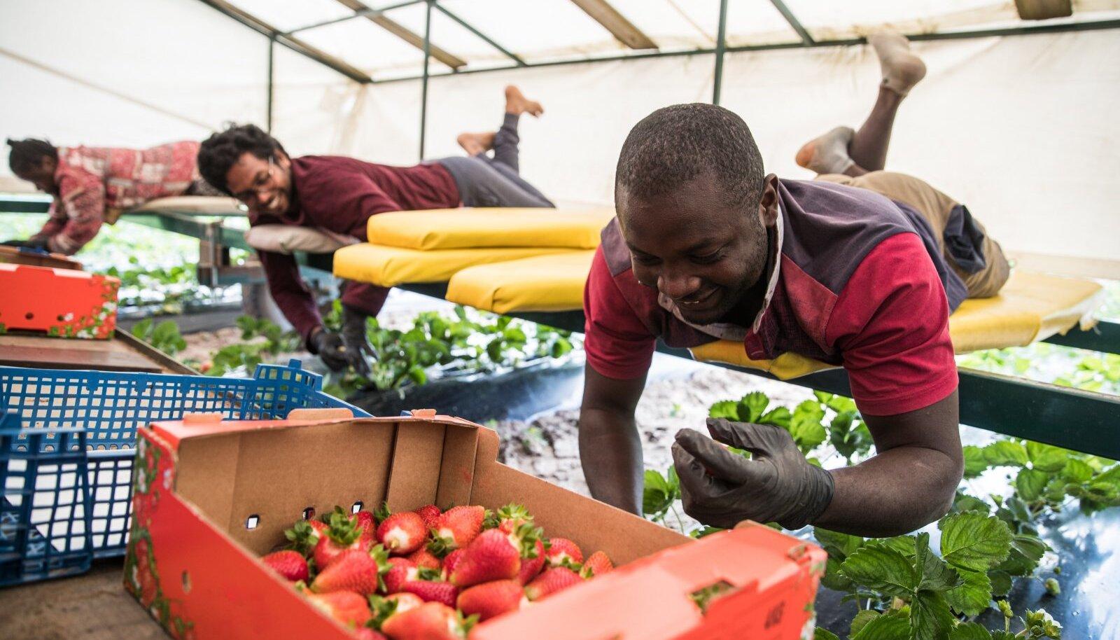 Nigeeria tudengid korjavad maasikaid