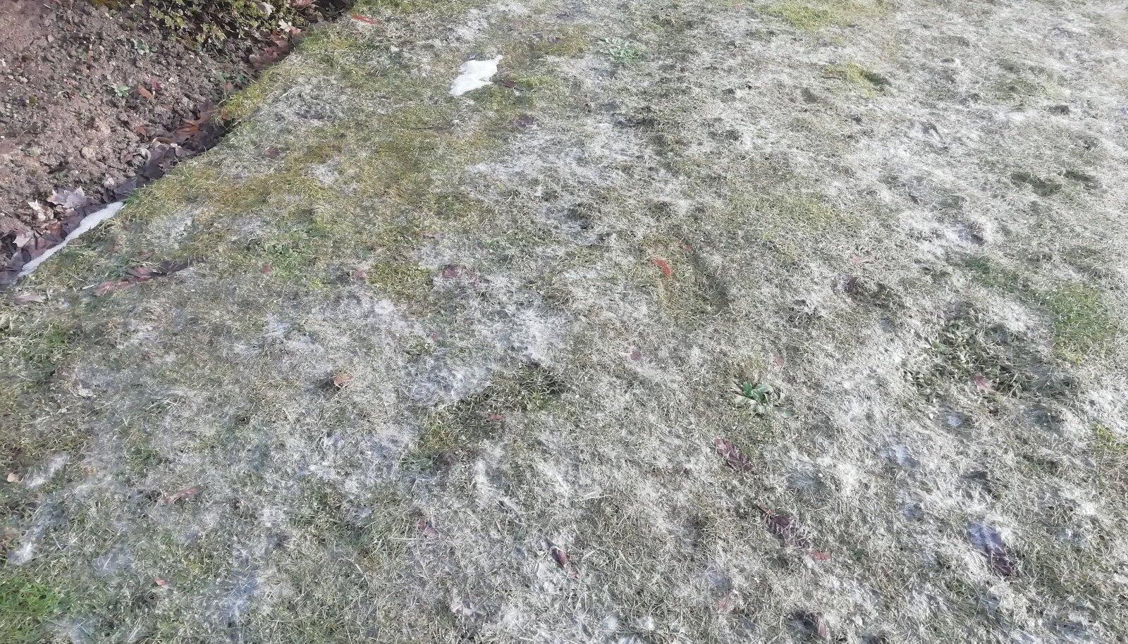 Lumiseene kahjustused on sellel aastal päris ulatuslikud.