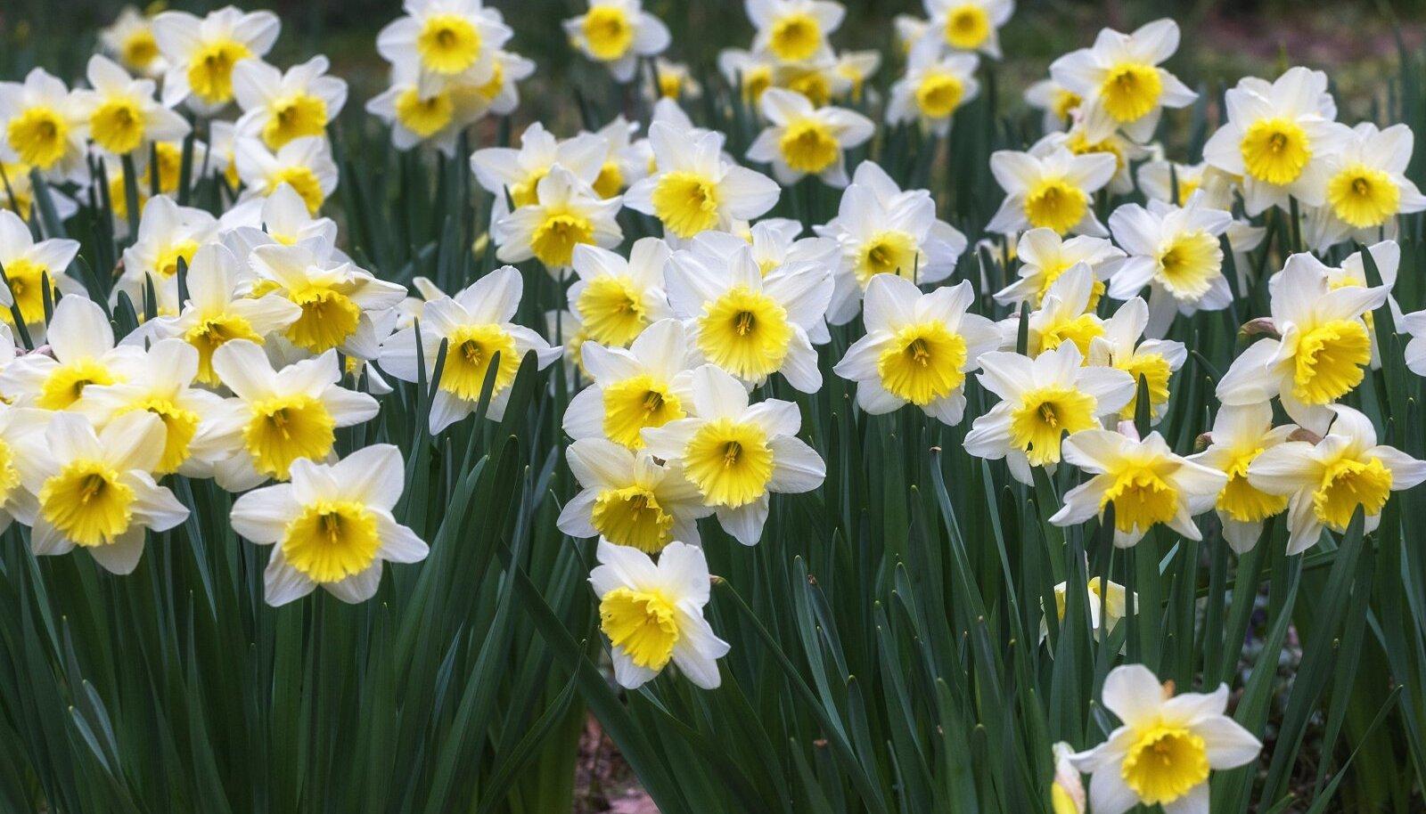 Korralik pinnas ja palju toitaineid tagab kevadel ilusamad lilled.