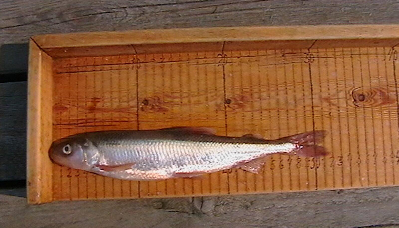 Pärnu lahest püütud meritint. Kõige suurem meritint püüti 2006. aastal ja selle pikkuseks oli 32 cm.