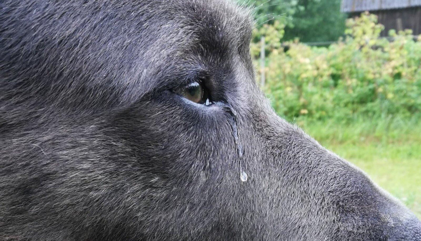Koer Rocky pidi lahkuma kodust. See tegi talle nii haiget, et ta hakkas nutma: silmist langesid suured pisarad.