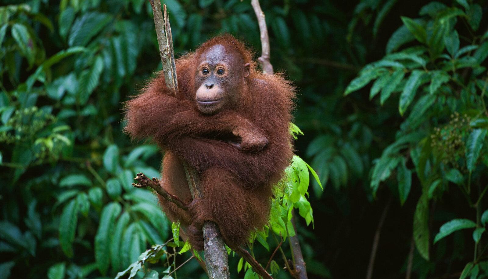 Sumatra orangutanide kodud on Indoneesias toimuva metsaraie tõttu hävinemas