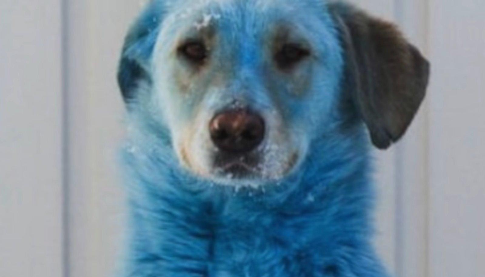 Sinine koer